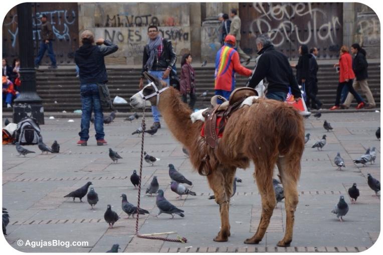 Llamas at Plaza de Bolívar