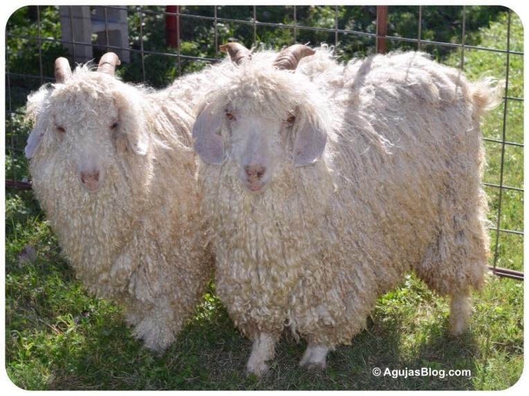 Angora Goats Duo 10/2014