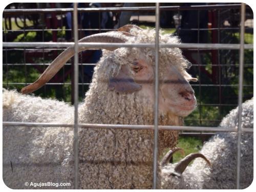 Adult Angora Goat 10/2014