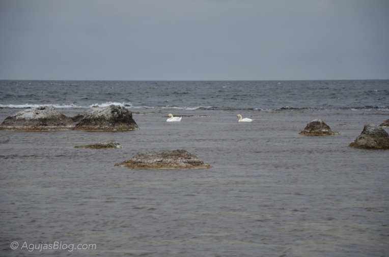 Swans swimming in the cold Baltic Sea