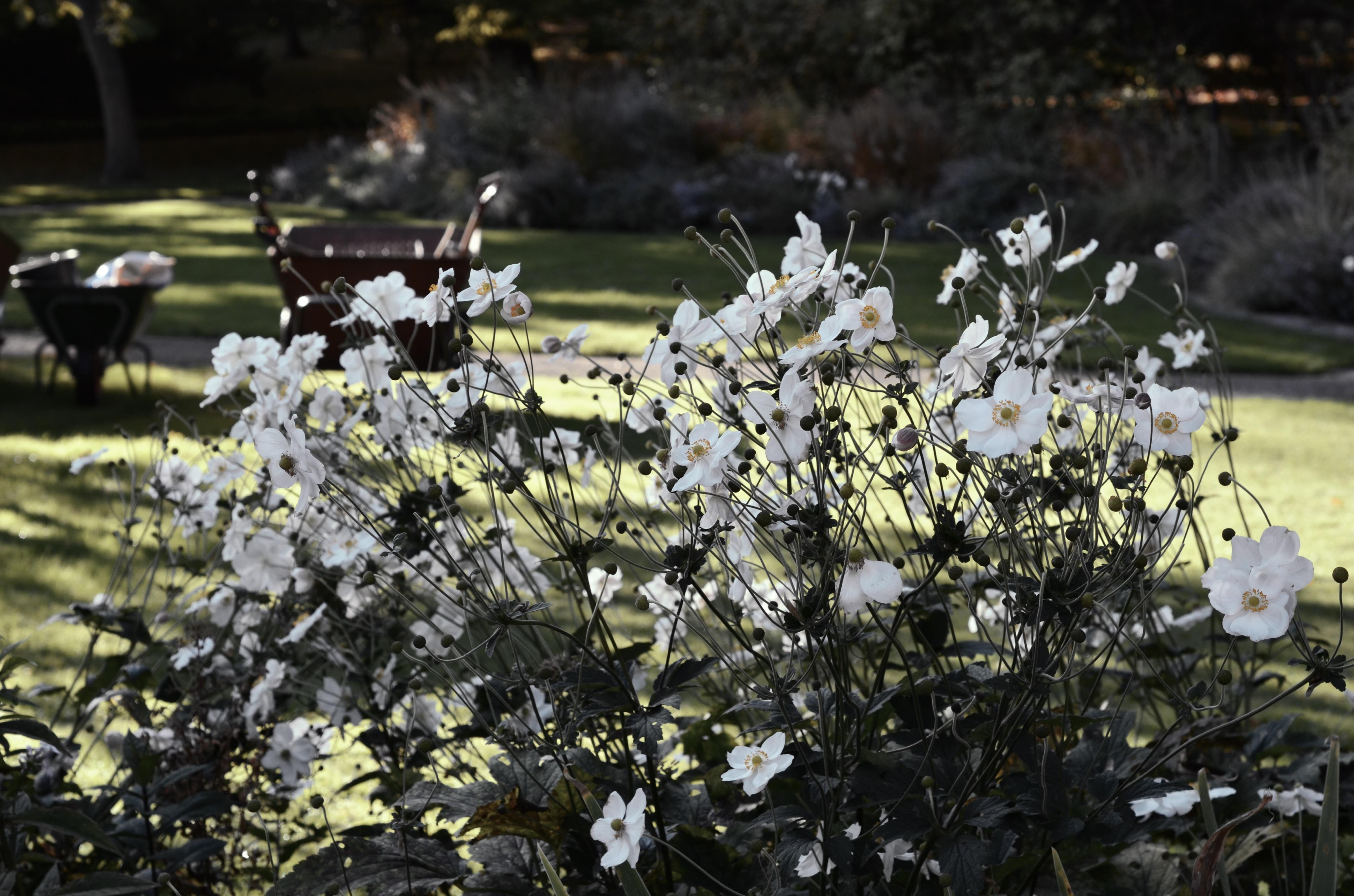 Botanical Gardens - White Dáhlia