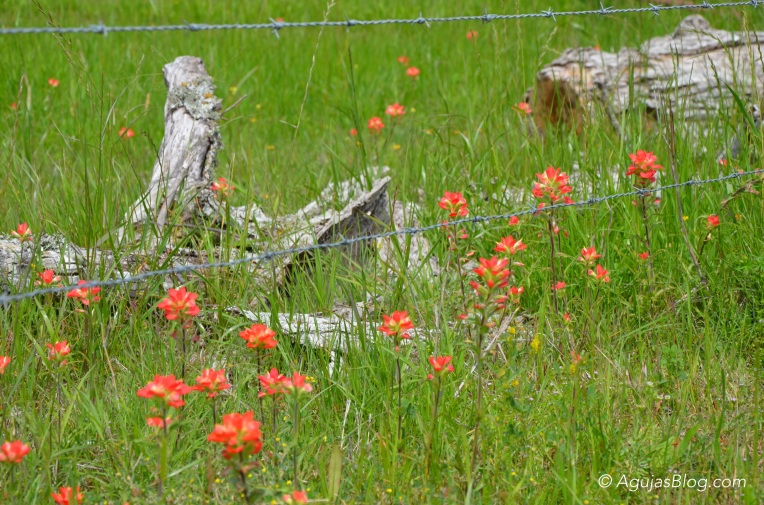 Indian Paintbrushes on FM 609